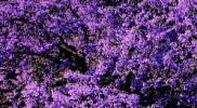 Tabebuia Purple