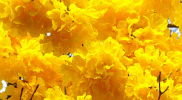 Tabebuia Yellow